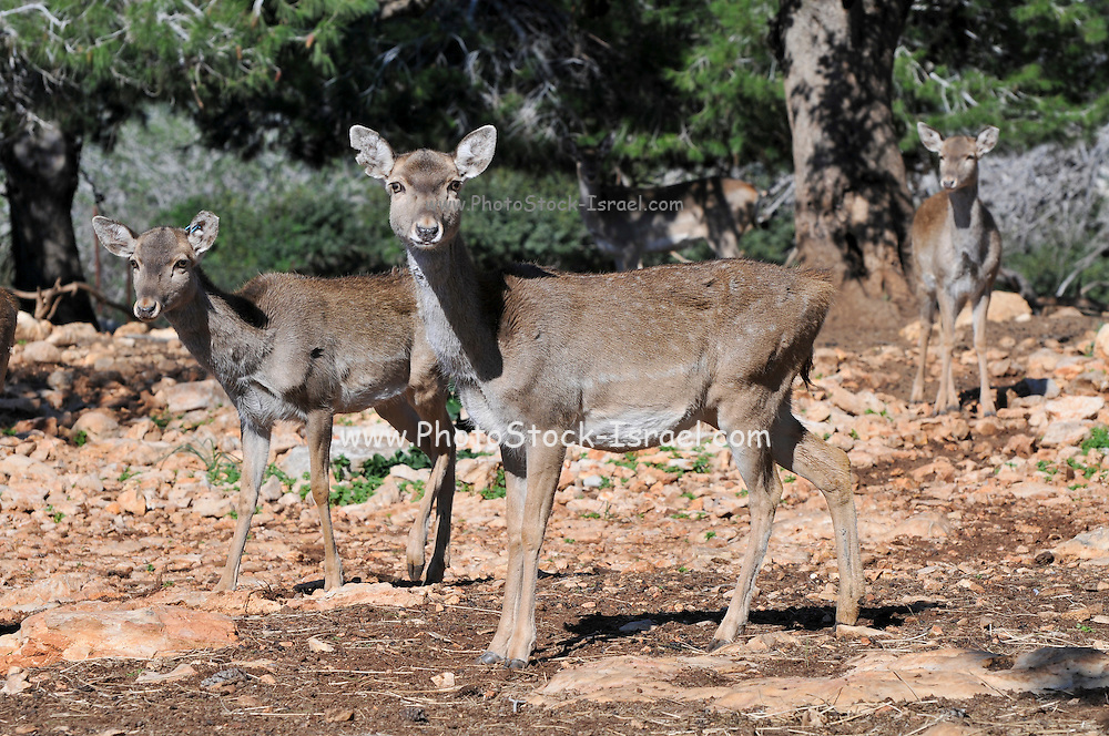 Israel, Carmel Mountains, female Persian Fallow Deer (Dama dama Mesopotamica) Endangered species. This specimen is part of a breeding nucleus for reintroducing this species back to nature. Photographed in Israel in December