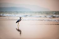 Western Reef Heron (Egretta Gularis) at sunset, Talpona Beach, South Goa, India