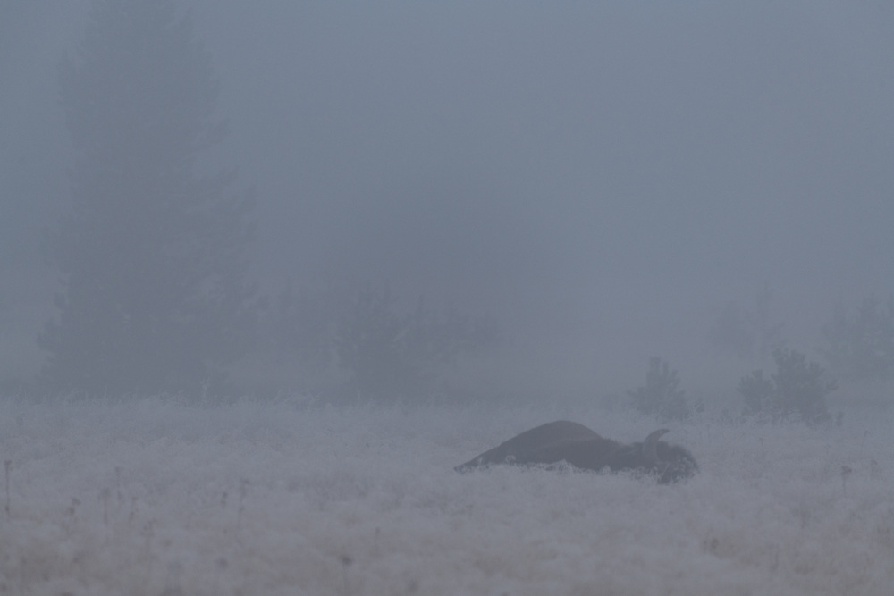A bison sleeps in Gibbon Meadows