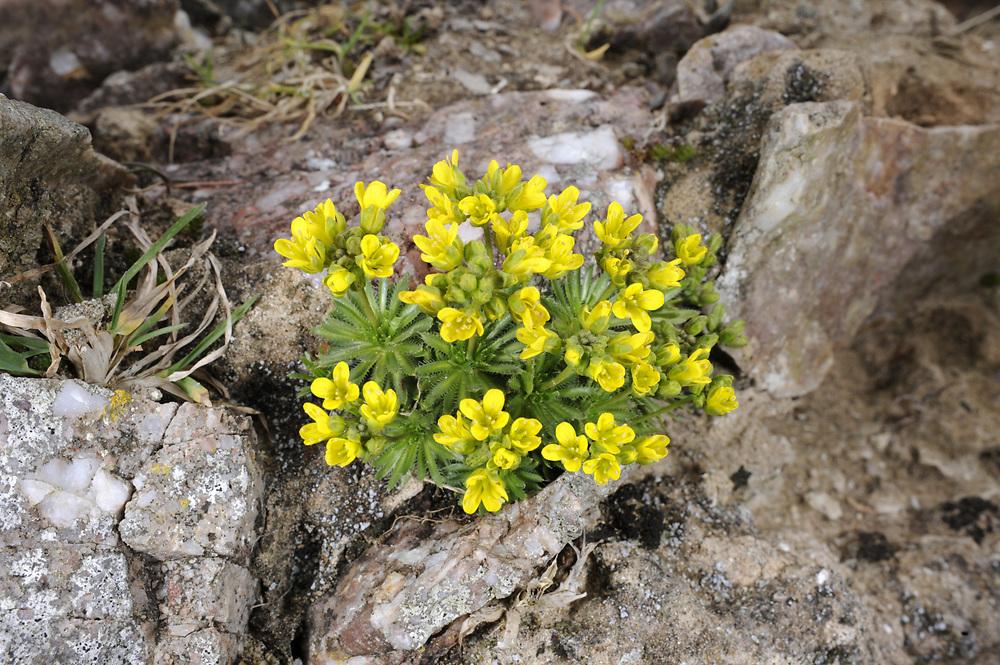 yellow whitlowgrass<br /> Draba aizoides