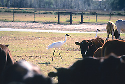 Whooping Crane & Cows
