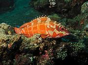 blacktip grouper (Epinephelus fasciatus) perched on coral in Bali Sea, Indonesia