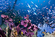Fish including bluefin trevally (Caranx melampygus), swarm over a wreck that is covered in Elephant ear sponge, Solomon Islands