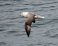 Northern Fulmar (Fulmarus glacialis). Viewed from the Landeyjahöfn to Vestmannaeyjar ferry. Image taken with a Nikon D4 camera and 80-400 mm VR lens