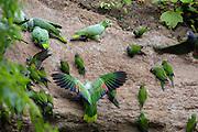 Coca - Saturday, Dec 22 2007: Dusky-headed Parakeets (Aratinga weddellii), Mealy Amazons (Amazona farinosa) and Blue-headed Parrots (Pionus menstruus) on a clay lick at Yasuni National Park. (Photo by Peter Horrell / http://www.peterhorrell.com)