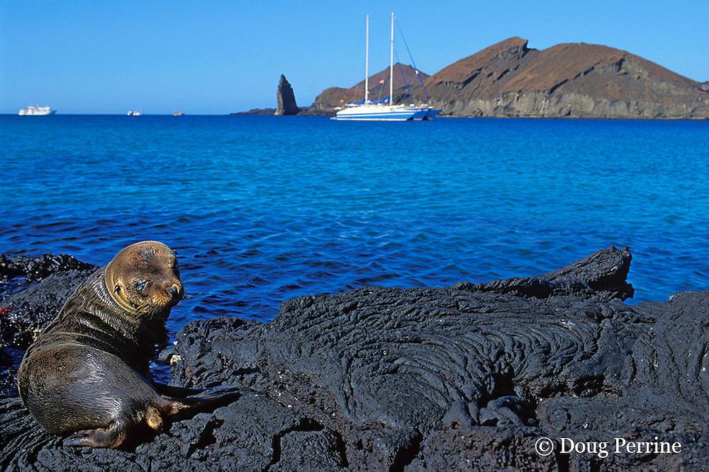 juvenile Galapagos sea lion, Zalophus californianus wollebaeki, with Lammer Law in background, Barthalome Island, Galapagos Islands, Ecuador, ( Eastern Pacific )