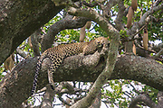 Leopard (Panthera pardus) resting on a tree. Photographed at Serengeti National Park, Tanzania