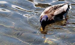 THEMENBILD - eine Ente im Wasser am Zeller See, aufgenommen am 1. Mai 2017, Zell am See, Österreich // A duck in the water on Lake Zell at Zell am See, Austria on 2017/05/01. EXPA Pictures © 2017, PhotoCredit: EXPA/ JFK