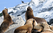 South American Sea Lions (Otaria flavescens) on a rocky island in the Beagle Channel. Ushuaia, Argentina. 13Feb16