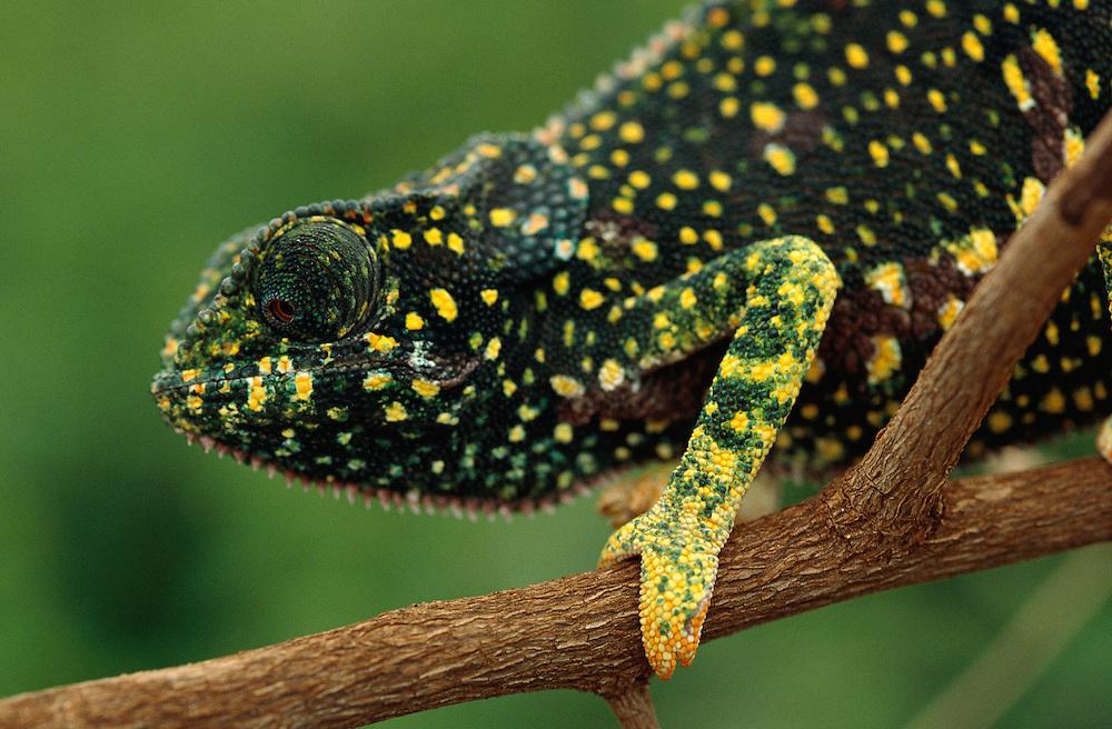 Chameleon, Chamaeleo sps., Serengeti, Tanzania