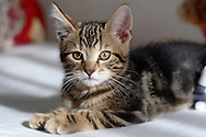 Middletown, N.Y. - A kitten poses for a portrait on a child's bed on Oct. 31, 2006.&#xA;<br />
