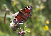 Peacock butterfly Inachis io on thistle plant flower
