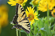 Butterfly, Tiger Swallowtail on Compass Flower, Papilio Glaucus