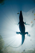 silhouette of Morelet's crocodile, Central American crocodile, or Belize crocodile, Crocodylus moreletii,  resting while floating on surface of cenote, or freshwater spring, near Tulum, Yucatan Peninsula, Mexico