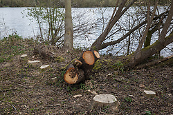 Harefield, UK. 6th April, 2021. Trees felled for the HS2 high-speed rail link close to the Grand Union Canal. Thousands of trees have already been felled in the Colne Valley where HS2 works will include the construction of a Colne Valley Viaduct across lakes and waterways and electricity pylon relocation.