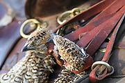 A brace of Sharptails hang from a game strap on a saddle during a horseback prairie grouse hunt.