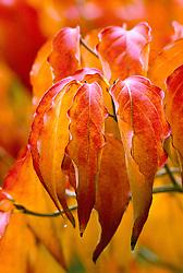 The autumn colours of Cornus kousa
