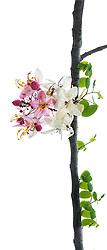 Cassia Bakeriana Pink Shower Wishing Tree#6cvert