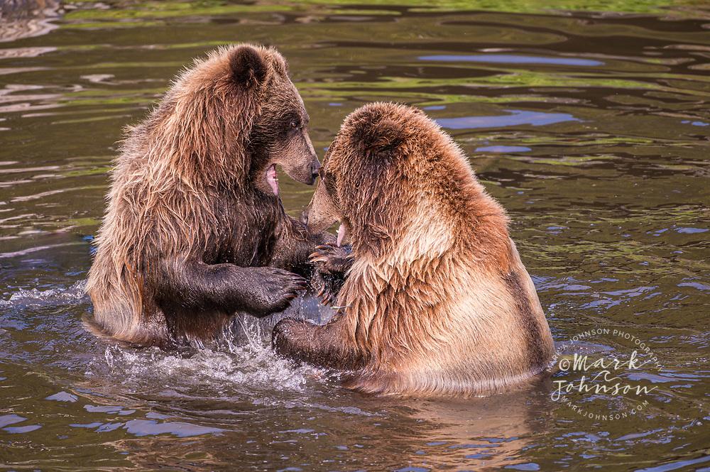 Juvenile Grizzly Bears play fighting, Baranof Island, Alaska, USA