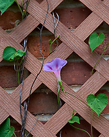 Blooming Morning Glory Vine. Image taken with a Nikon D810a camera and 105 mm f/1.4 lens