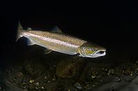 Atlantic Salmon, Salmo salar<br /> River Orkla, Rennebu, Norway<br /> Photographed at catch/release fishing.