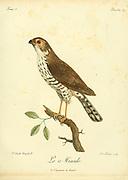 Le Minulle Bird of Prey from the Book Histoire naturelle des oiseaux d'Afrique [Natural History of birds of Africa] by Le Vaillant, François, 1753-1824; Publish in Paris by Chez J.J. Fuchs, libraire .1799