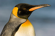 King Penguin (Aptenodytes patagonicus), Salisbury Plain, South Georgia Island, South Atlantic Ocean