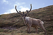 Caribou stag on Polychrome mountain, Denali National Park, Alaska. Reindeer, when living wild in North America, are known as caribou...