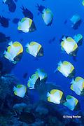 pyramid butterflyfish or shy butterflyfish, Hemitaurichthys polylepis, Witu Islands, Bismarck Archipelago, Papua New Guinea ( Bismarck Sea )