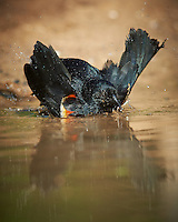 Red-winged Blackbird Taking a Bath. Dos Vandas Ranch in Southern Texas. Image taken with a Nikon D800 camera and 400 mm f/4 lens (ISO 800, 400 mm, f/5.6, 1/2000 sec)