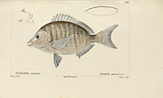 Charax from Histoire naturelle des poissons (Natural History of Fish) is a 22-volume treatment of ichthyology published in 1828-1849 by the French savant Georges Cuvier (1769-1832) and his student and successor Achille Valenciennes (1794-1865).