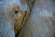 Close up portrait of an African elephant, Loxodonta africana, with a bee on his ear.