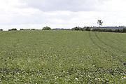 potato, spud, crop, harvest, arable, farming, field,