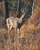 Buck with 8-point rack. Image taken with a Nikon D850 camera and 600 mm f/4 VR lens.