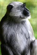 Apenheul is een gespecialiseerde dierentuin aan de rand van de Nederlandse stad Apeldoorn. De tuin ligt midden in het natuurpark Berg & Bos (200 ha). In Apenheul leven apen uit Afrika, Zuid-Amerika en Azië. De dieren leven er heel vrij: gaas of tralies ziet men er bijna niet. Sommige soorten lopen zomaar tussen de bezoekers rond. <br /> <br /> Op de foto:  Hanumanlangoer