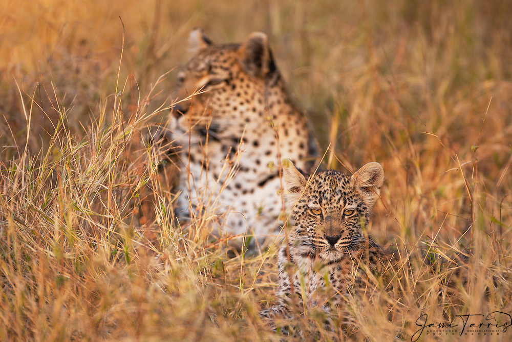 A leopard cub (Panthera pardus) feels safe with its mother close behind, Moremi Game Reserve,Botswana,Africa