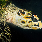 An almost-blind hawksbill sea turle in a recovery tank at the Manatee Conservation Center in Puerto Rico after being dragged by hooks in her eyes by fisherman looking to eat her.