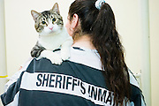 18 JULY 2005 - PHOENIX, AZ, USA: A woman inmate in the Maricopa County Jail, plays with cats at the Maricopa Animal Safe Hospice (MASH) an animal shelter created by Maricopa County Sheriff Joe Arpaio. Arpaio created the no kill shelter in 2000 and staffs it with women inmates from the county jail system. Most of the 60 dogs and 32 cats in the shelter were rescued from abusive homes. The animals are available for adoption to homes in Maricopa County. The shelter is housed in an old jail next to the county courthouse. Working in the shelter is considered a plum assignment by inmates and there is a waiting list to be assigned to the shelter. In 2011, the US Department of Justice issued a report highly critical of the Maricopa County Sheriff's Department and the jails. The DOJ said the Sheriff's Dept. engages in widespread discrimination against Latinos during traffic stops and immigration enforcement, violates the rights of Spanish speaking prisoners in the jails and retaliates against the Sheriff's political opponents.      PHOTO BY JACK KURTZ