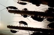 Deu, Deutschland: Deutschen Schaben (Blattella germanica) in einem Brutturm im Nationalen Umweltamt, Testlabor für effektive Schädlingsbekämpfung, Berlin | Deu, Germany: German cockroaches (Blattella germanica) in its breeding tower at the National Bureau of Environment, test department for effective substances of pesticide, Berlin |