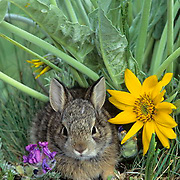Mountain Cottontail, (Sylvilagus nuttalli) Portrait of adult. Spring. Montana.  Captive Animal.