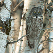 Great gray owl perched in a tree, hunting. The pattern in its feathers makes excellent camouflage. Northern Minnesota