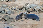 6.5 year old male Hawaiian monk seal, Neomonachus schauinslandi, nuzzles recently weaned 56 day old male pup with transmitter at Keokea Beach Park, Niulii, North Kohala, Hawaii Island ( the Big Island ), Hawaii, U.S.A. (9 days after weaning)