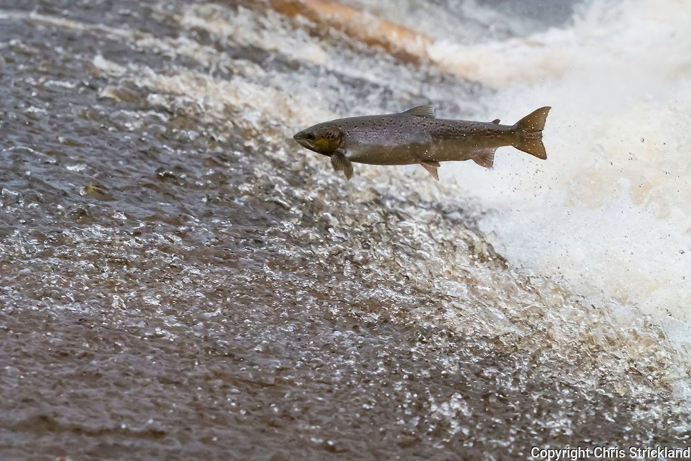 Selkirk, Scottish Borders, UK. 13th October 2017. An Atlantic Salmon (Salmo salar) leaps upstream over a cauld on the Ettrick Water. A tributary of the River Tweed the Ettrick is the second-fastest rising river in Scotland.