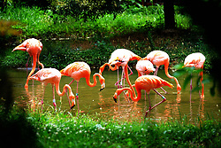 July 29, 2017 - Qingdao, Qingdao, China - Qingdao, CHINA-July 29 2017: (EDITORIAL USE ONLY. CHINA OUT) Flamingoes can be seen at a wildlife park in Qingdao, east China's Shandong Province, July 29th, 2017. (Credit Image: © SIPA Asia via ZUMA Wire)