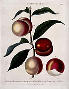 Horticulture. A branch of a Prunus cultivar bearing both peaches and Nectarines Colored Copperplate engraving by J. Pass From the Encyclopaedia Londinensis or, Universal dictionary of arts, sciences, and literature; Volume X;  Edited by Wilkes, John. Published in London in 1811