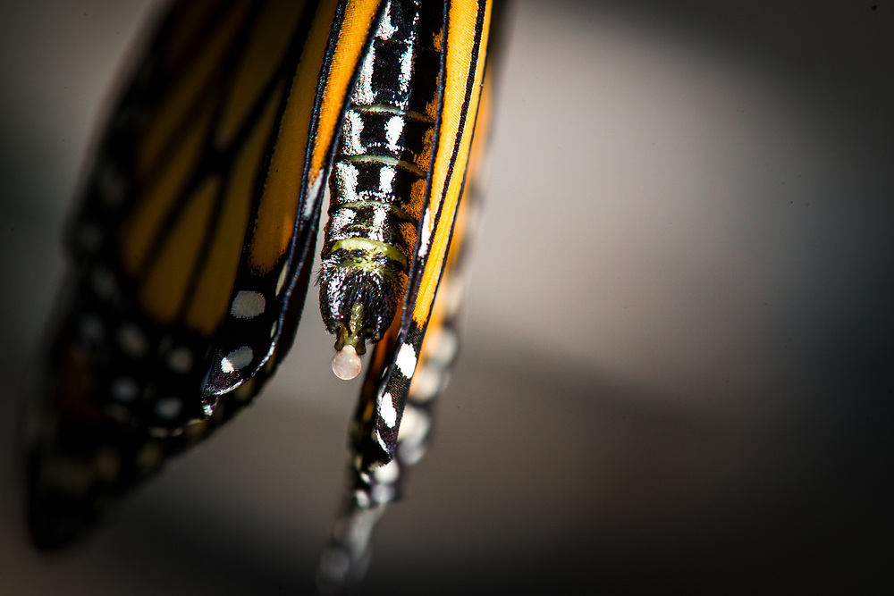 Newly emerged butterflies secrete a liquid called meconium which contains waste from the chrysalis stage.