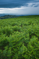 Wind swept bracken and stormy weather, Hay Bluff, Brecon Beacons national park, Wales