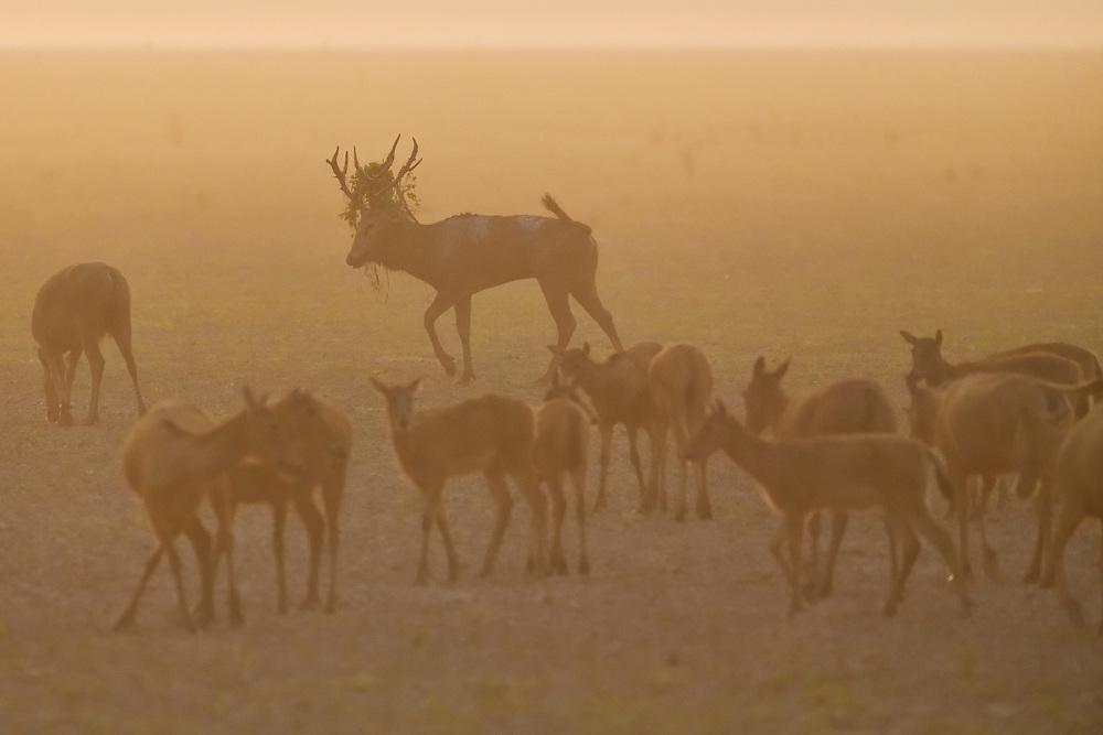 A herd of Père David's deer, or Milu, Elaphurus davidianus, stanind in orange morning mist in the Hubei Tian'ezhou Milu National Nature Reserve, Shishou, Hubei, China. The dominant harem-keeping stag in the herd.
