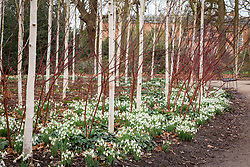 Snowdrops beneath a grove of silver birch trees in the Winter Garden at Dunham Massey. Betula utilis var. jacquemontii 'Doorenbos'. Galanthus