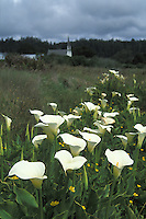 Cala Lillies on the Mendocino Headlands, with Presbytarian Church in the distance, Mendocino, California